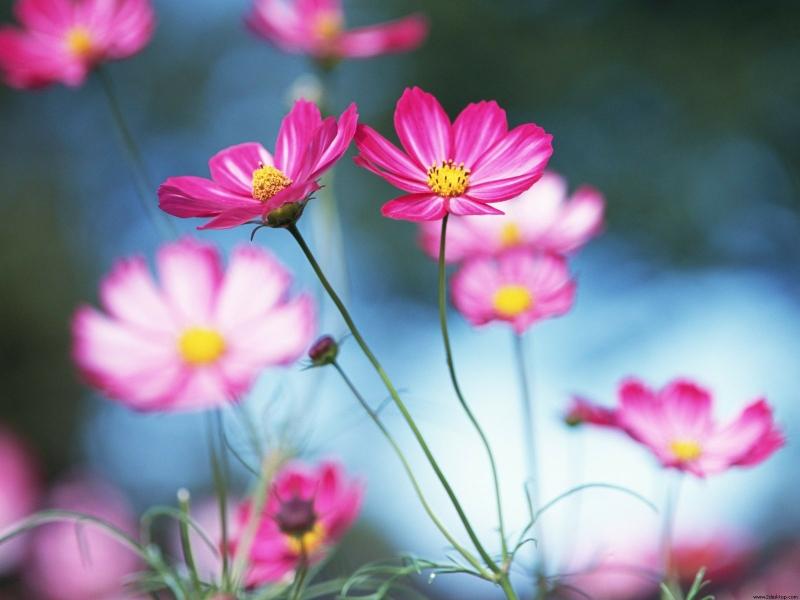 nature flowers pink flowers HD Wallpaper