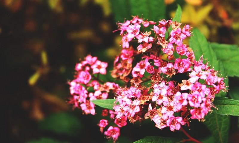 flowers   macro  pink flowers HD Wallpaper