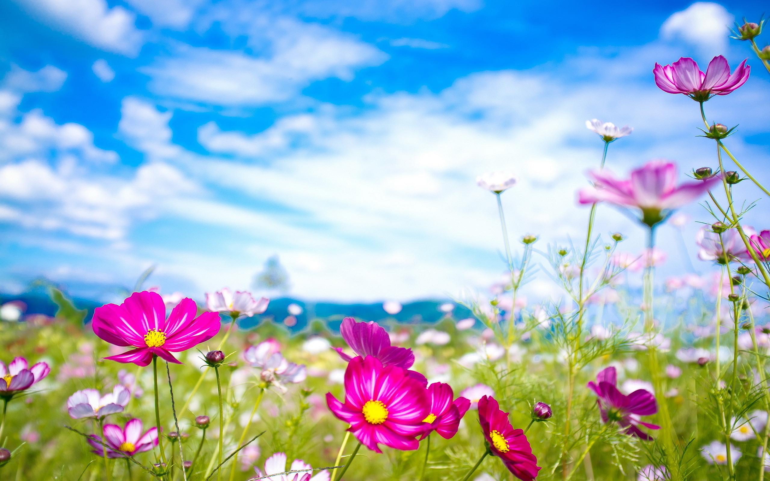 Pink Flowers Summer  HD Wallpaper
