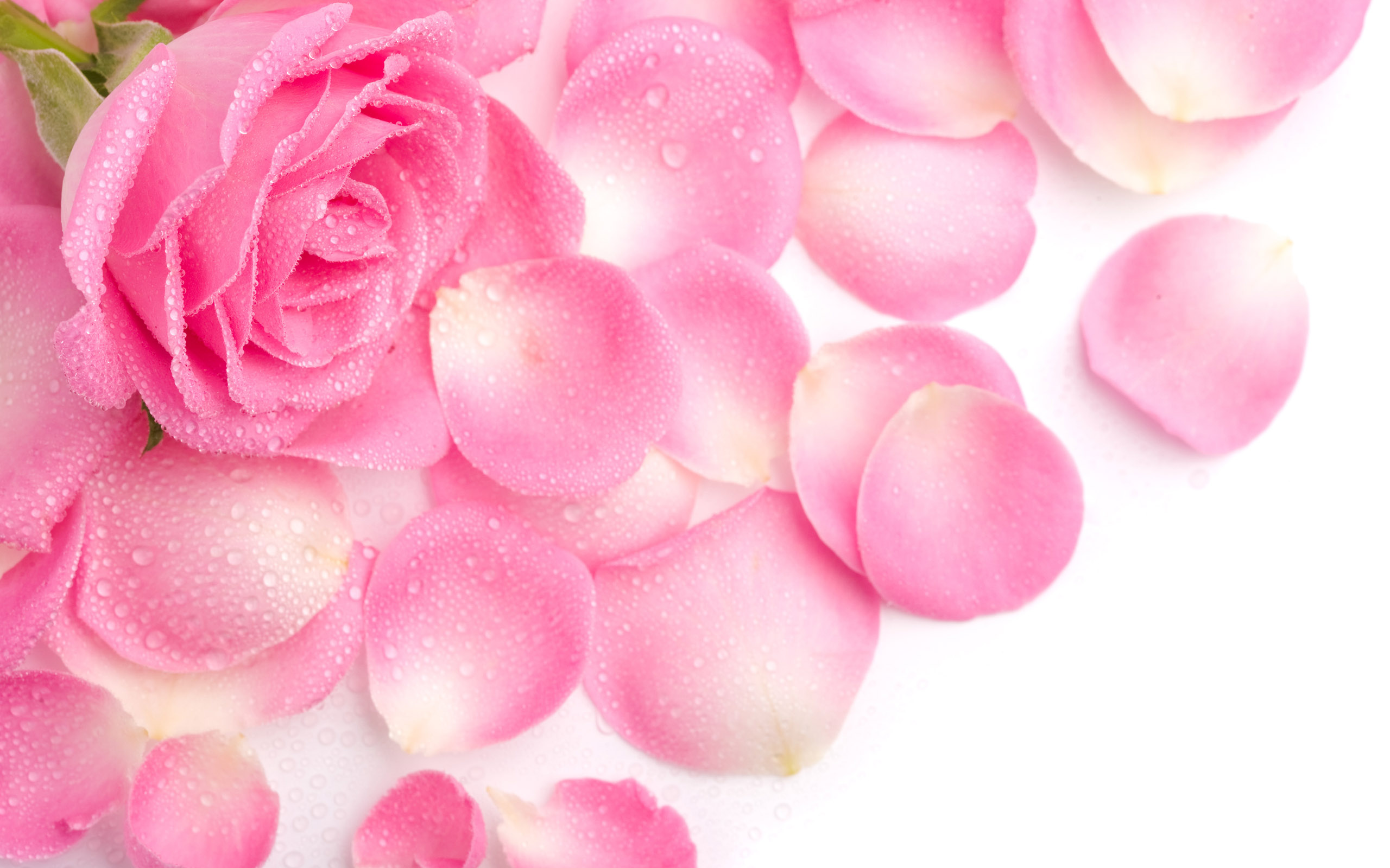 Beautiful Rose Flowers HD Wallpaper