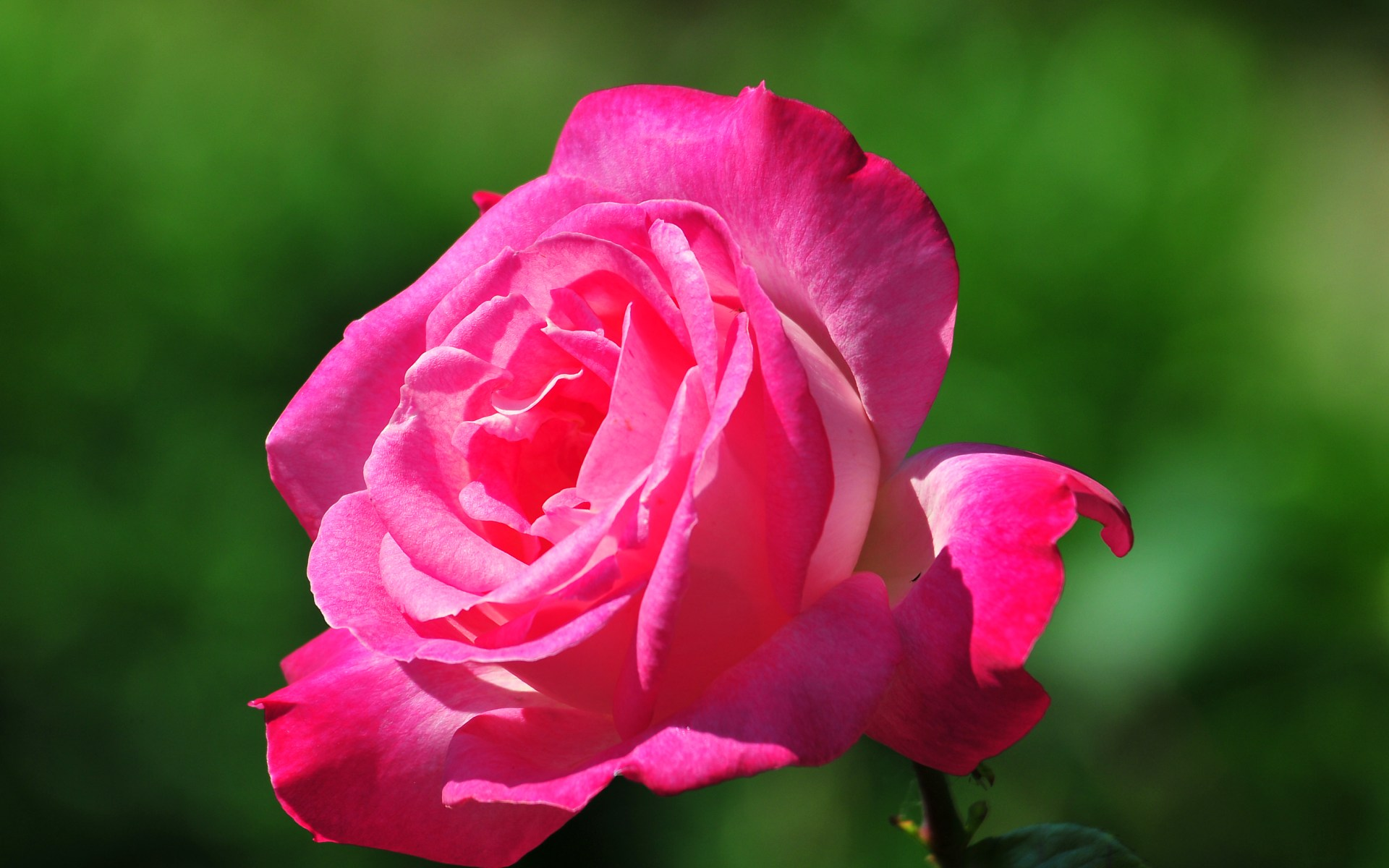 Beautiful Rose Flowers HD Wallpaper