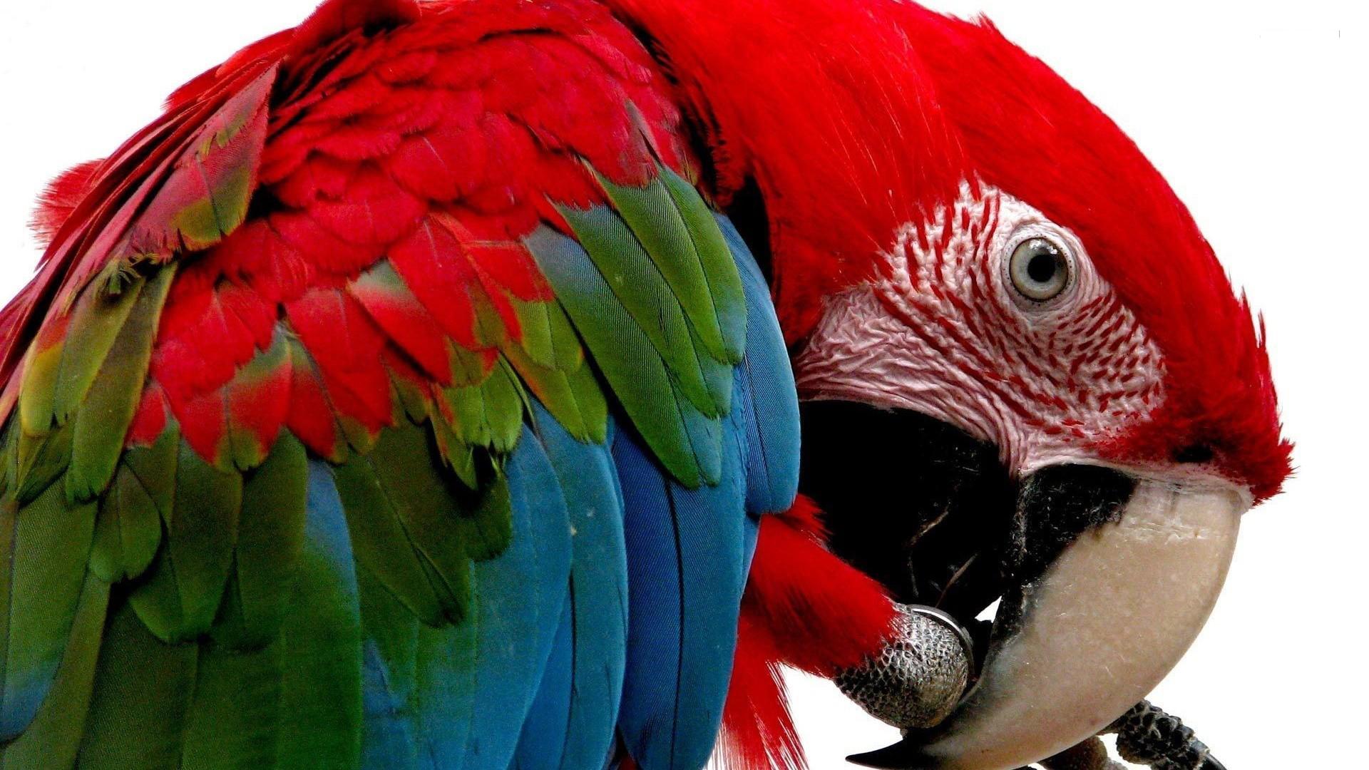 scarlet macaw hd  HD Wallpaper