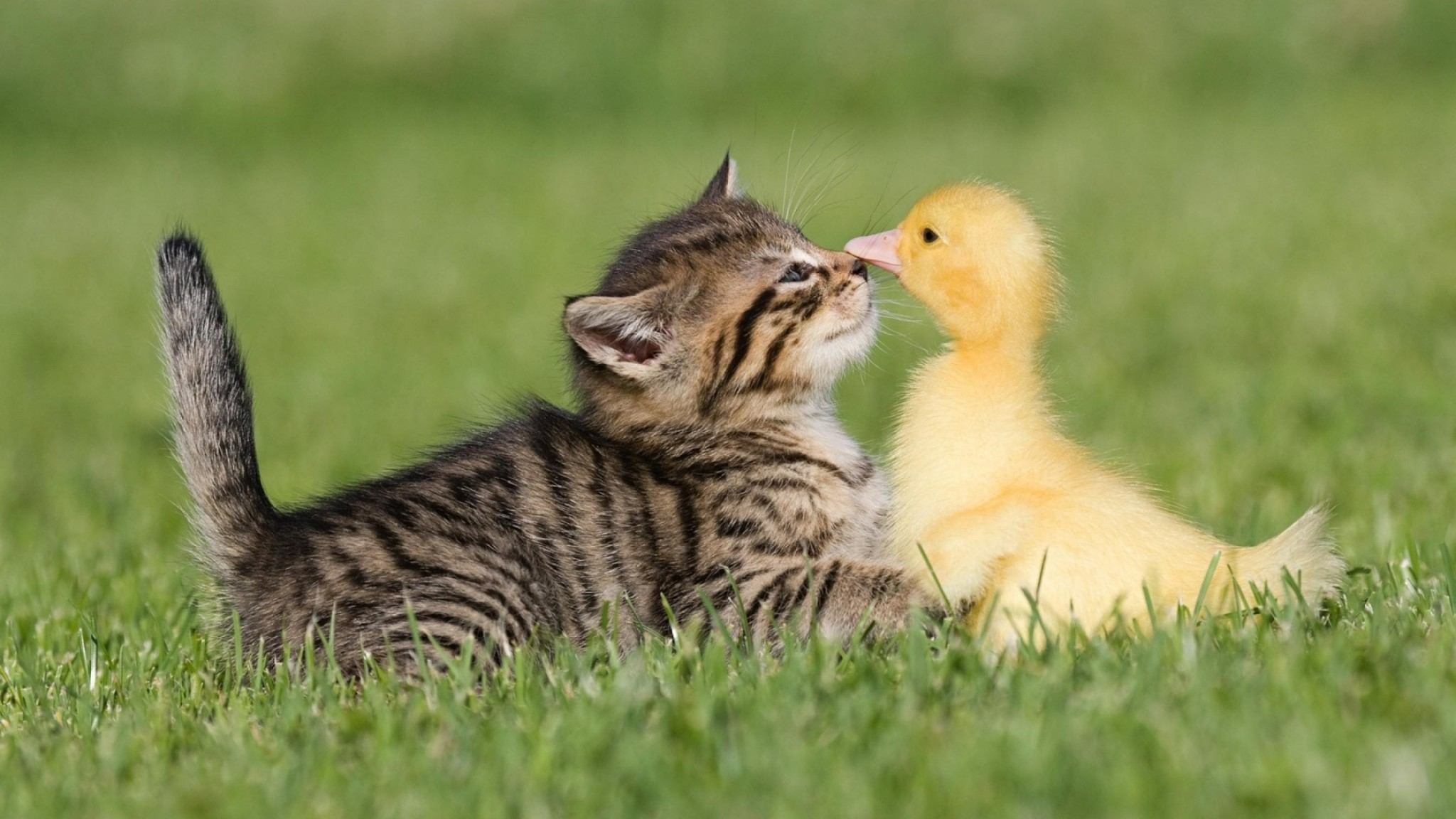 Birds Cats Animals Ducks HD Wallpaper