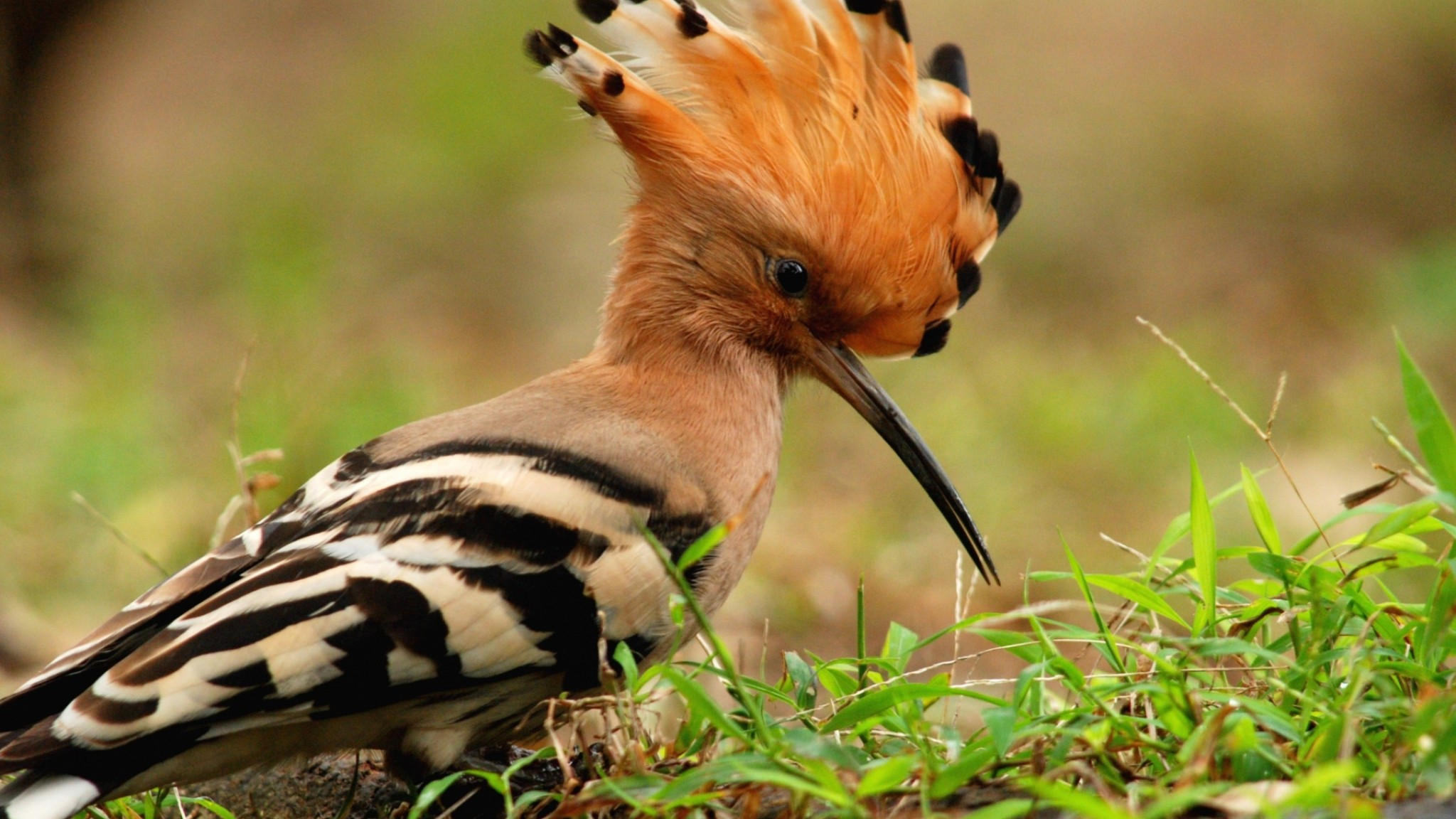 Animals Birds Macro Hoopoe HD Wallpaper