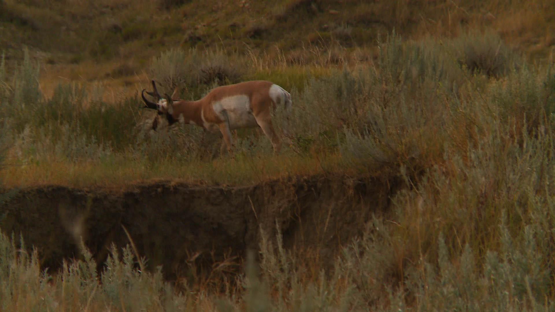Antelope 2 HD Wallpaper