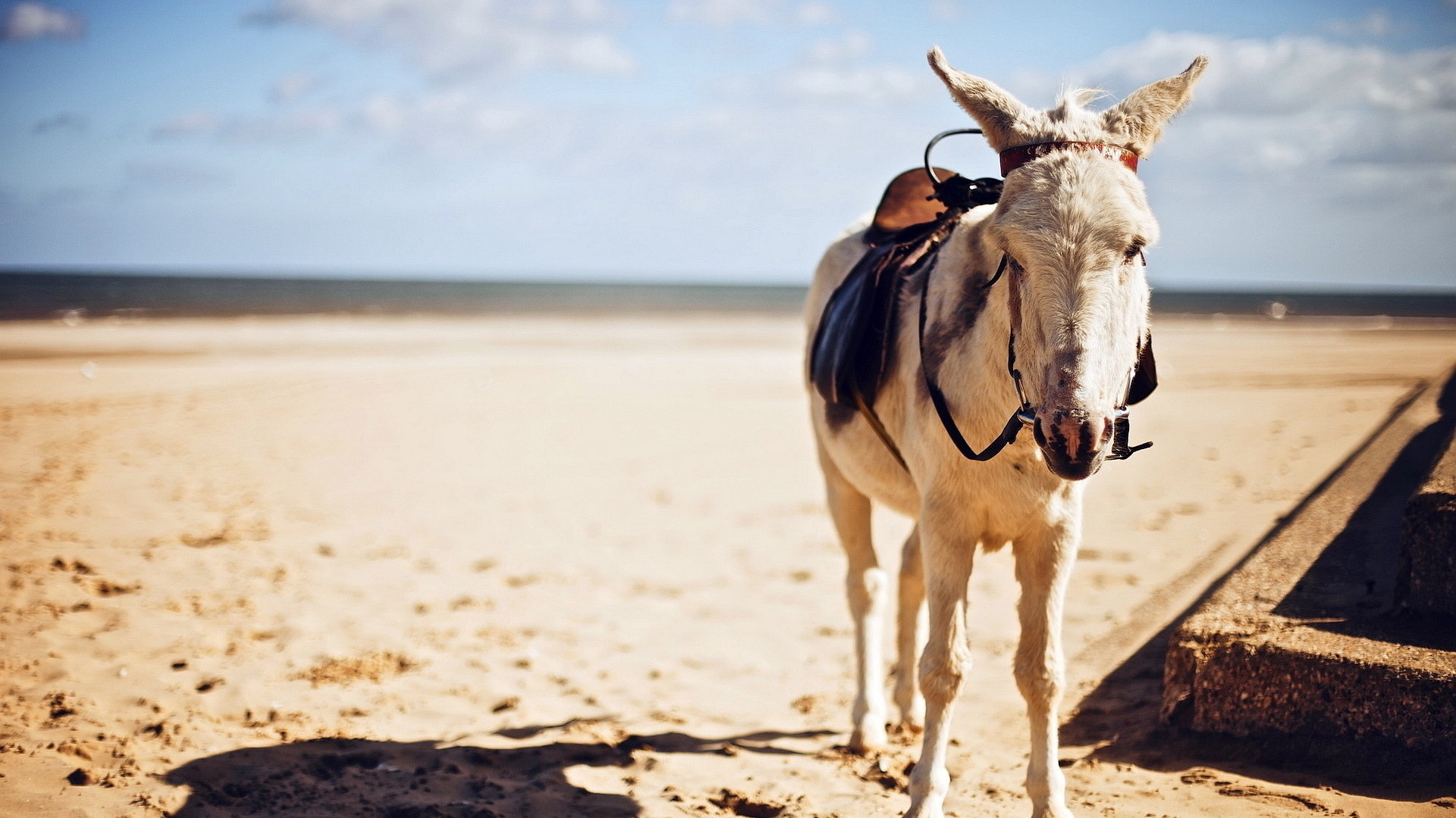 Saddled Donkey  in HD Wallpaper