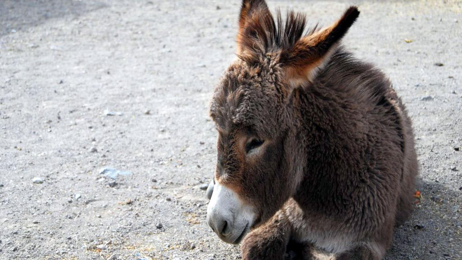 cute donkey    Animal HD Wallpaper
