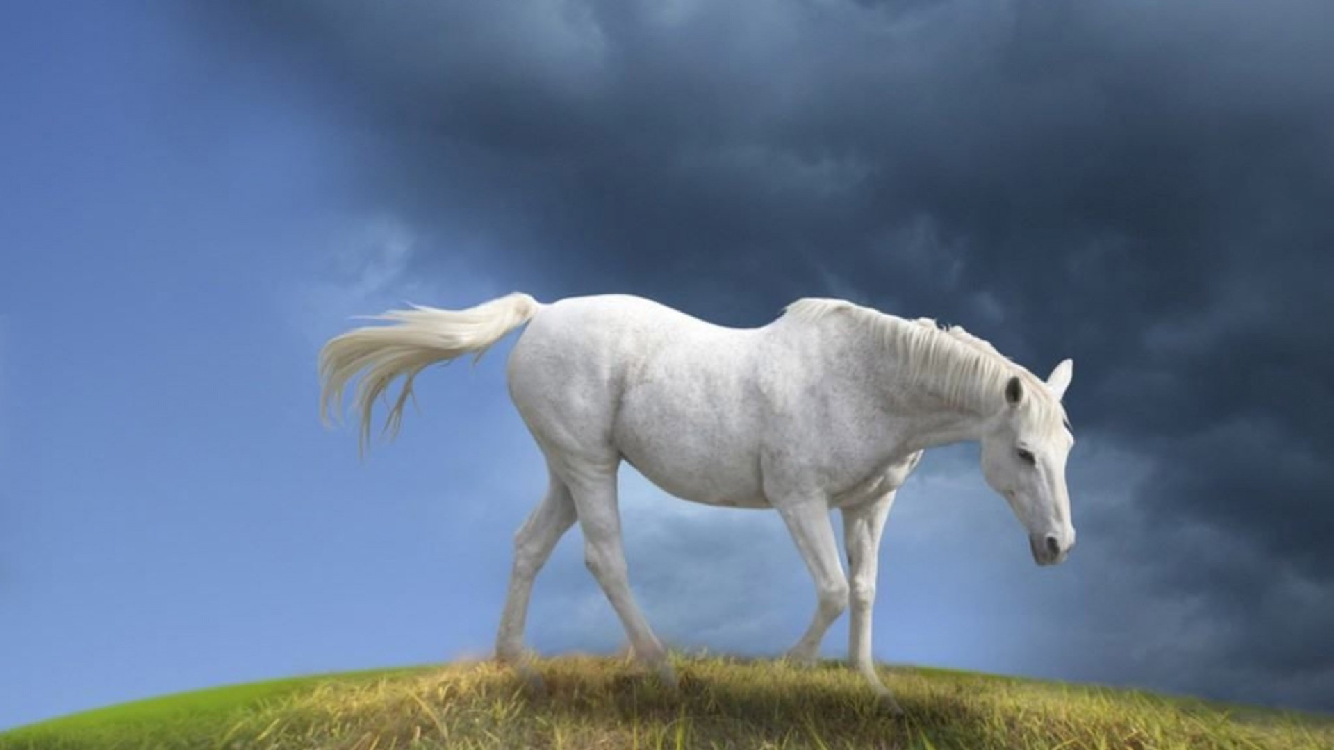 Widescreen White Horse Images HD Wallpaper