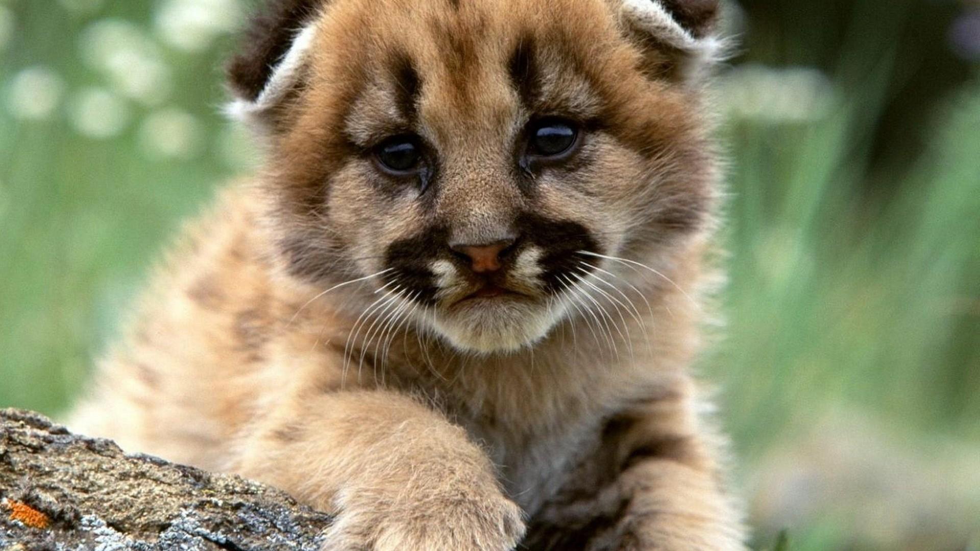 Puppy Lion Animals HD Wallpaper