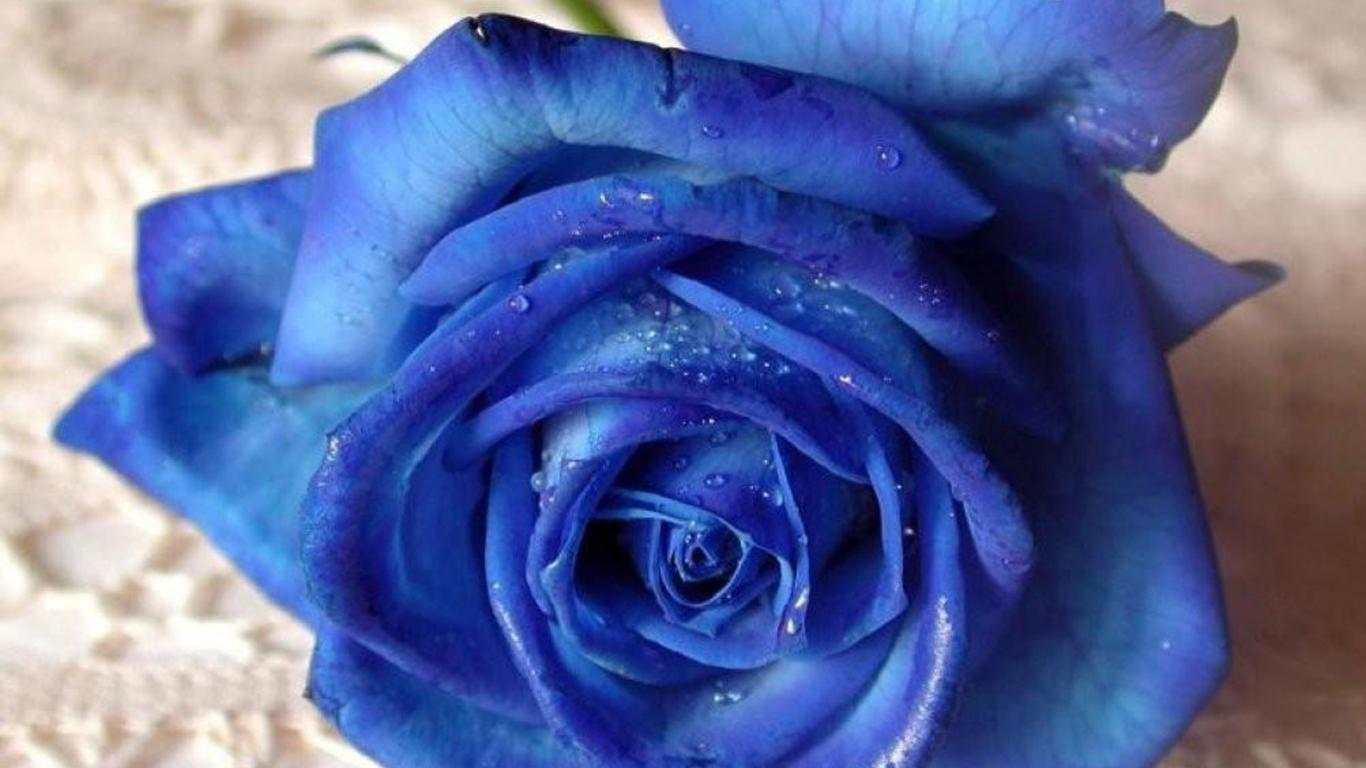 flowers  rose  blue rose HD Wallpaper