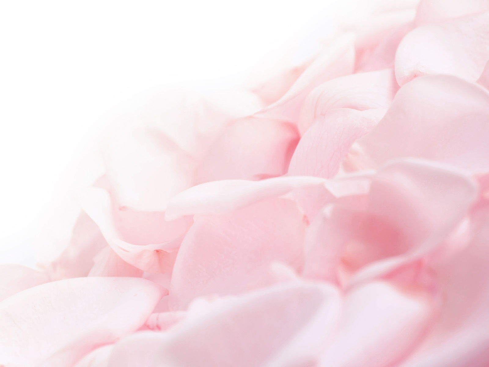 white rose flowers desktop HD Wallpaper