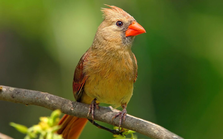 Fancy Birds   HD Wildlife Birds photography 1440x900 NO HD Wallpaper