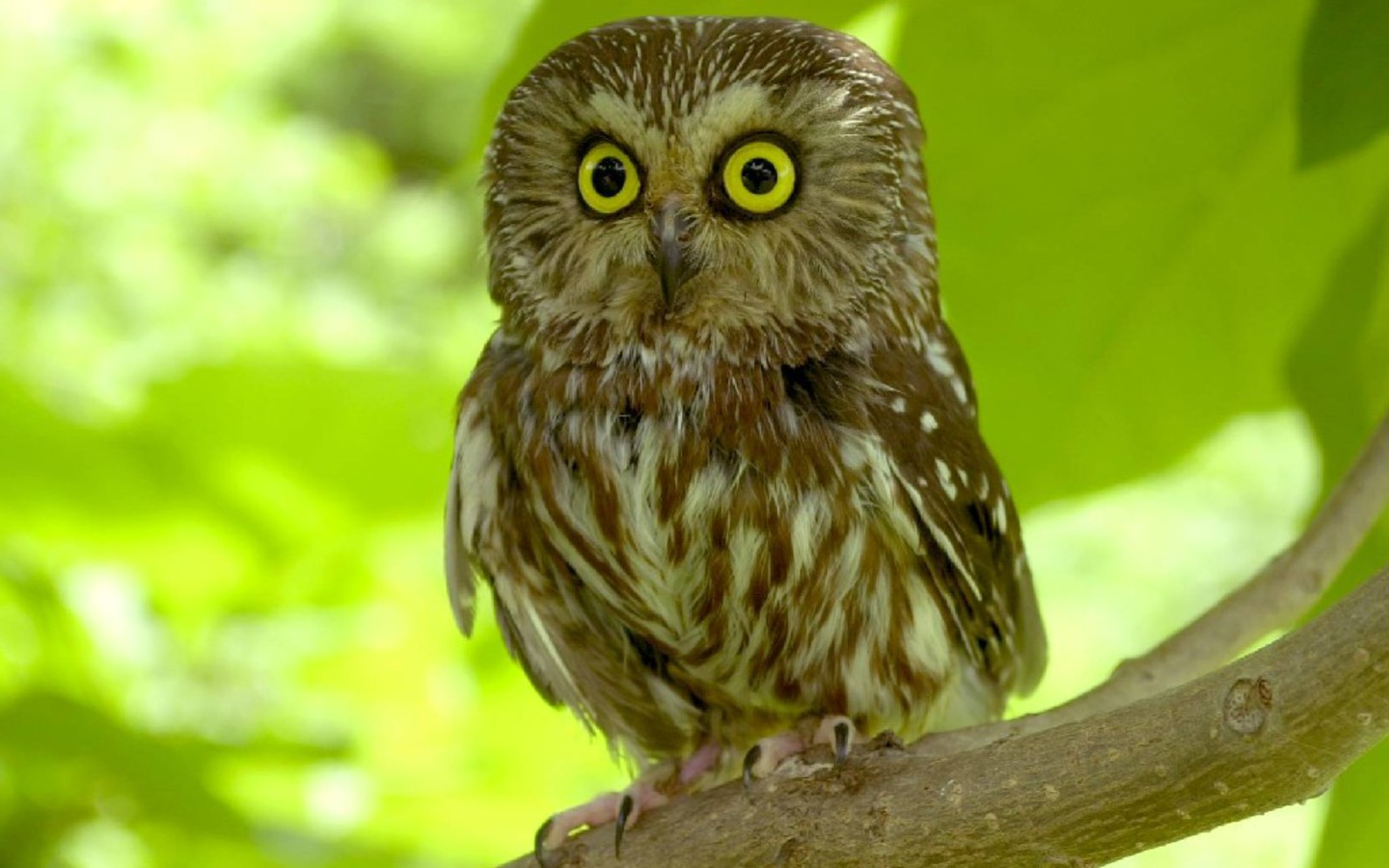 birds animals owls saw whet owl jofra HD    Birds   HD Wallpaper