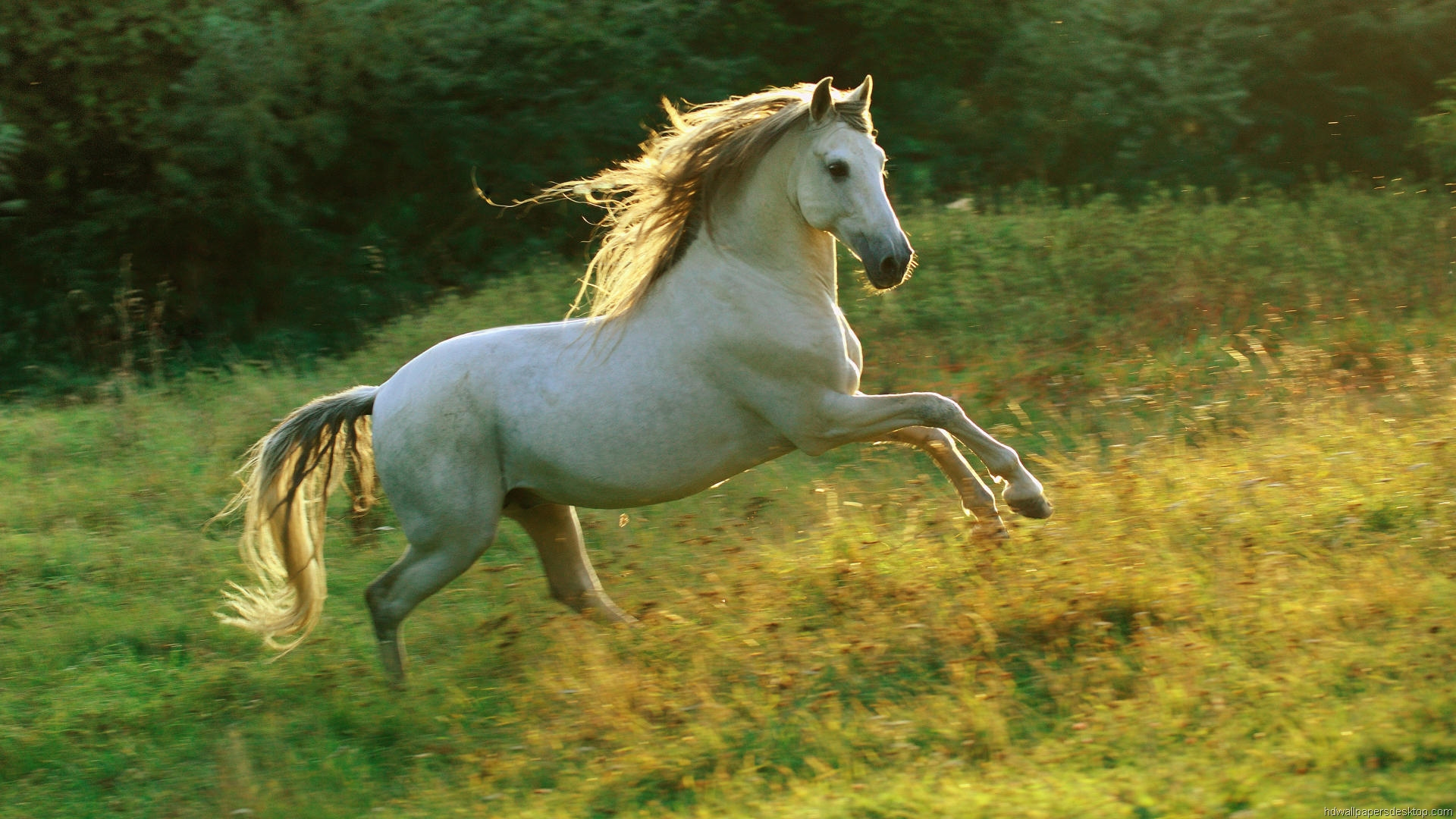 White horse hd    Unique Nature HD  HD Wallpaper