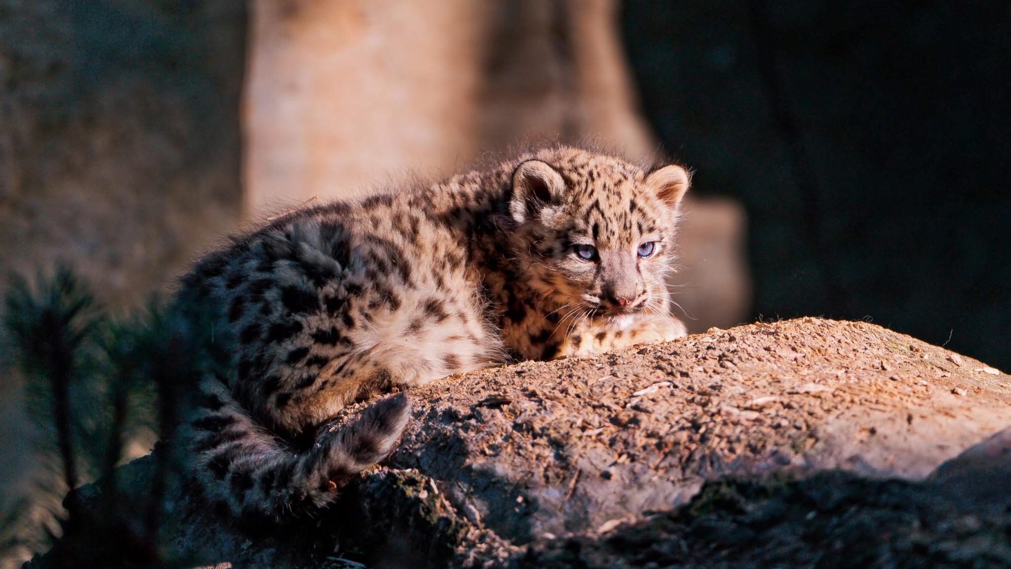 Mammalia  Leopard   Panther  Snow Leopard   HD  HD Wallpaper