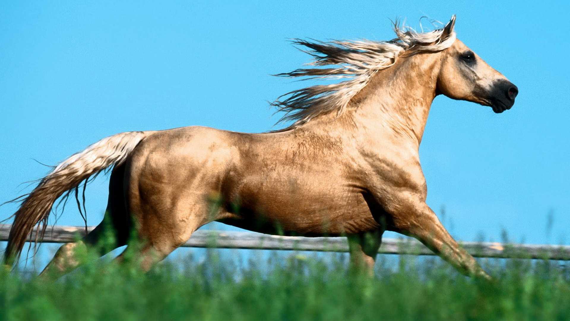 Horse  Arab Racer  Mane  Crest  Animals   Free HD  HD Wallpaper