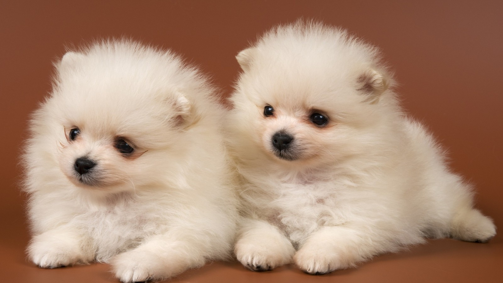 adorable dogs animal awesome baby cute dog dogs pets pomeranian HD Wallpaper
