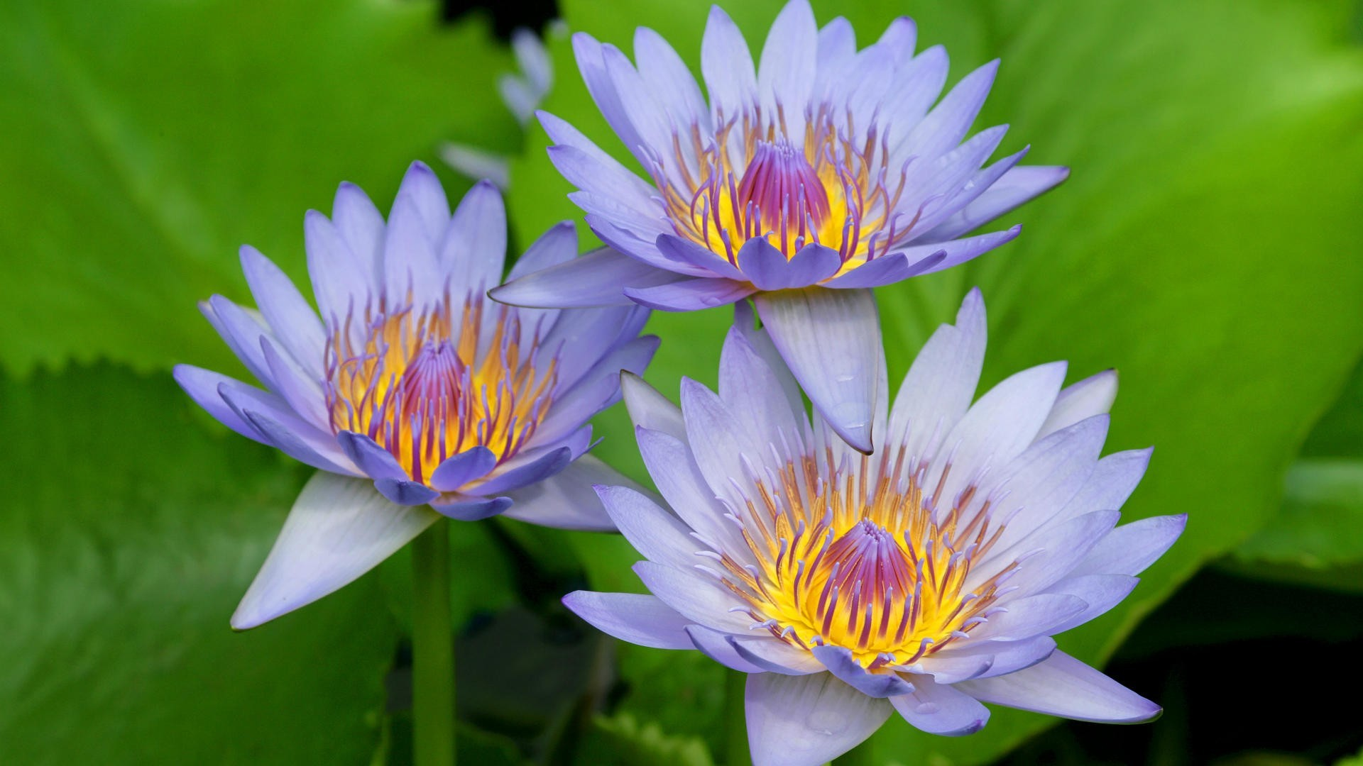 Flowers purple water lilies  HD Wallpaper
