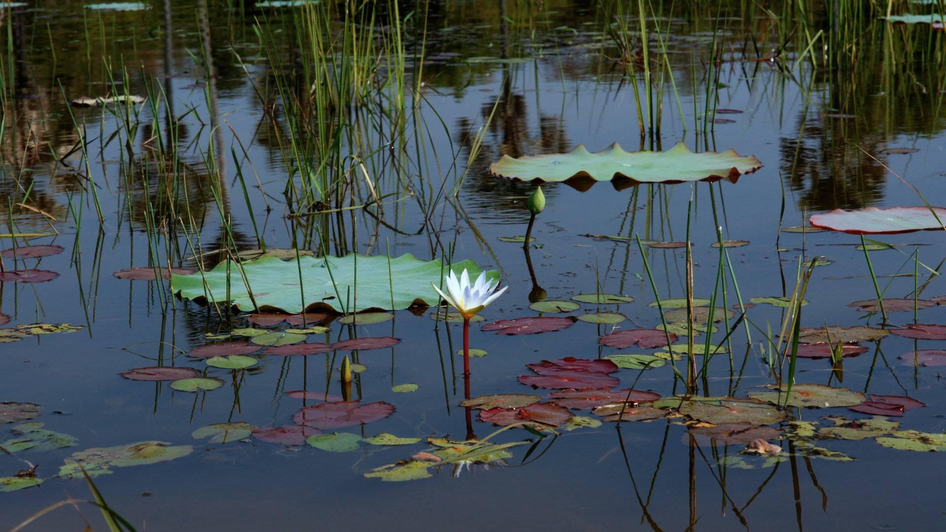Water lily    743416 HD Wallpaper