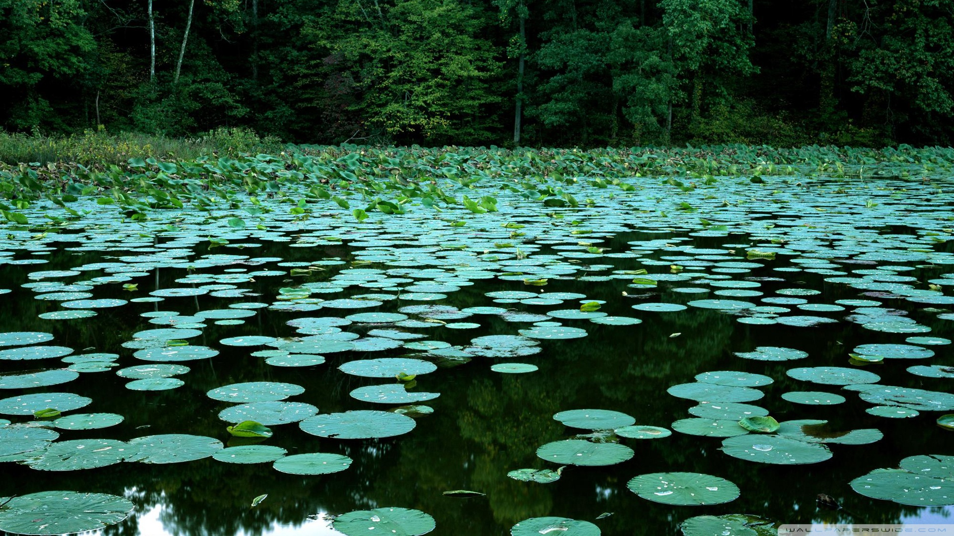 Water Lilies HD desktop    Widescreen   High Definition HD Wallpaper