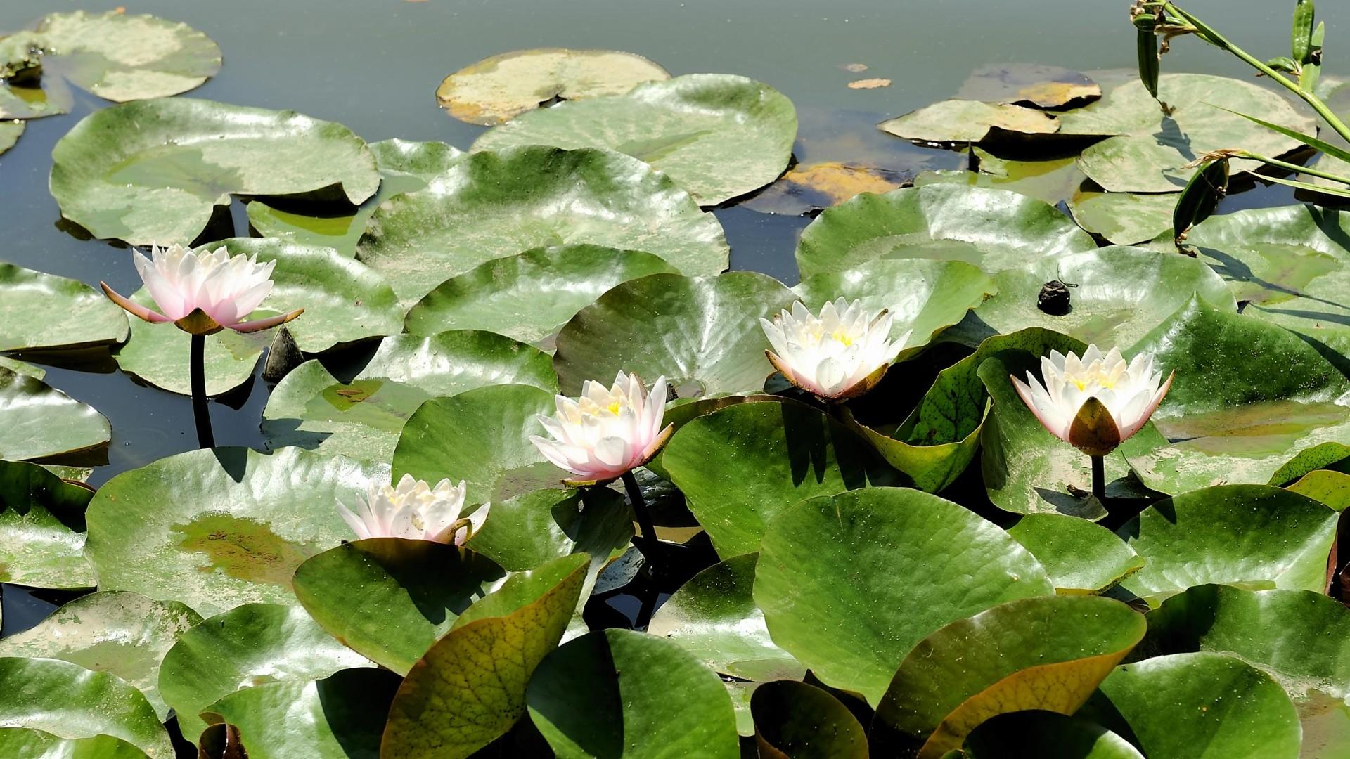 Water lilies   Desktop  free HD Wallpaper