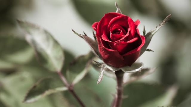 red roses  best flowers red rose  rose  the beautiful red rose HD Wallpaper