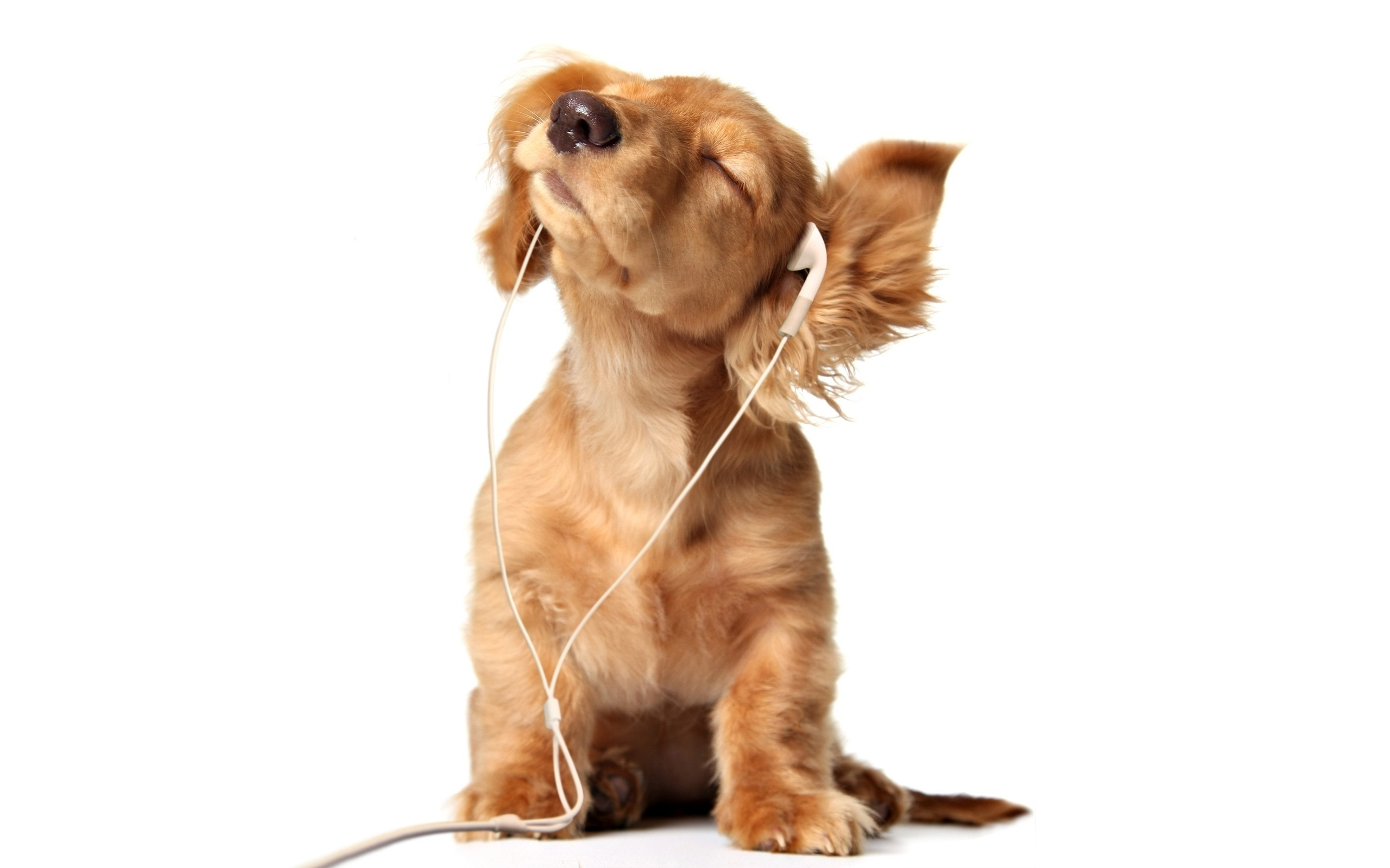 baldeet   dog ears  puppy  headphones  bow wow ry ryy HD Wallpaper