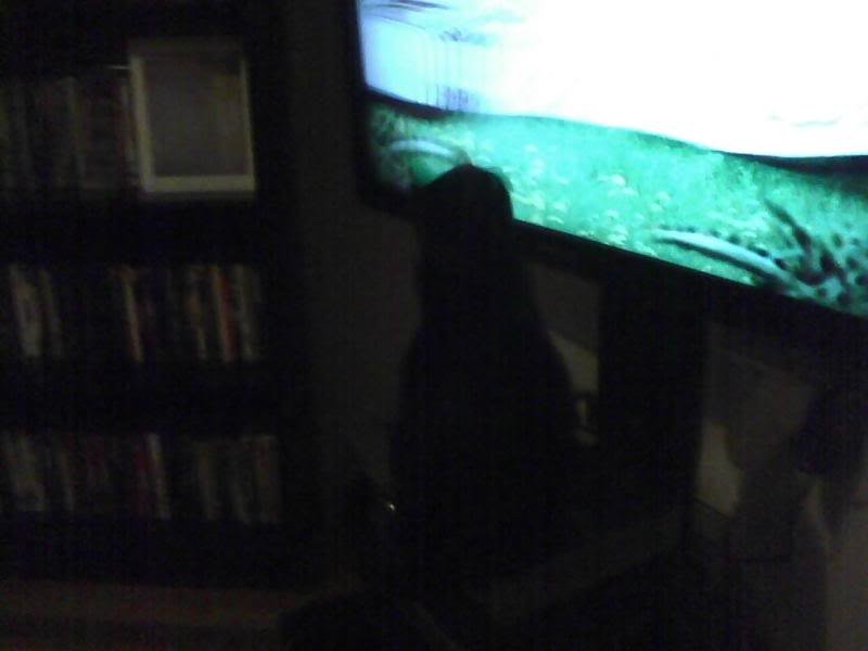 My cat has become a tv junkie   Straight Dope Message Board HD Wallpaper