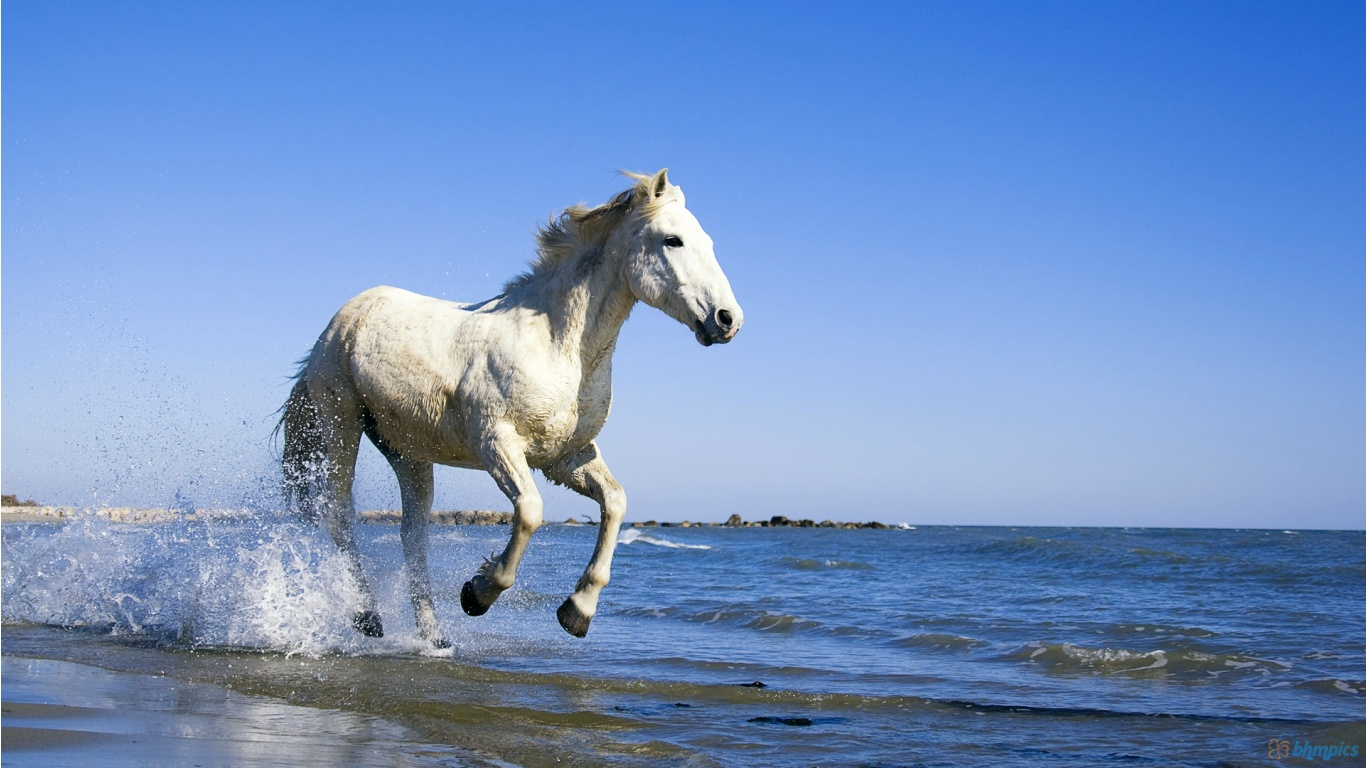Download White Horse Running In Water 1366x768 Hd Wide  HD Wallpaper