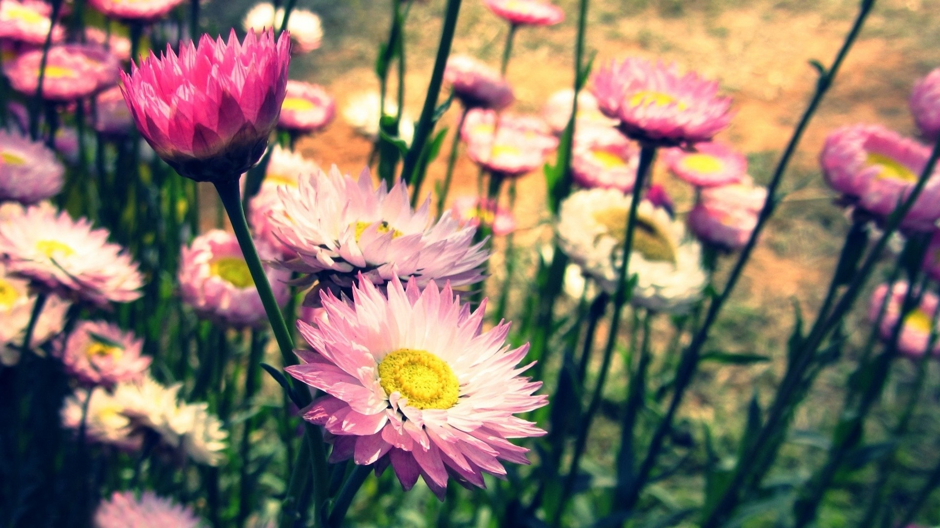 Flowers  vintage photo   Photography   Screen  HD Wallpaper