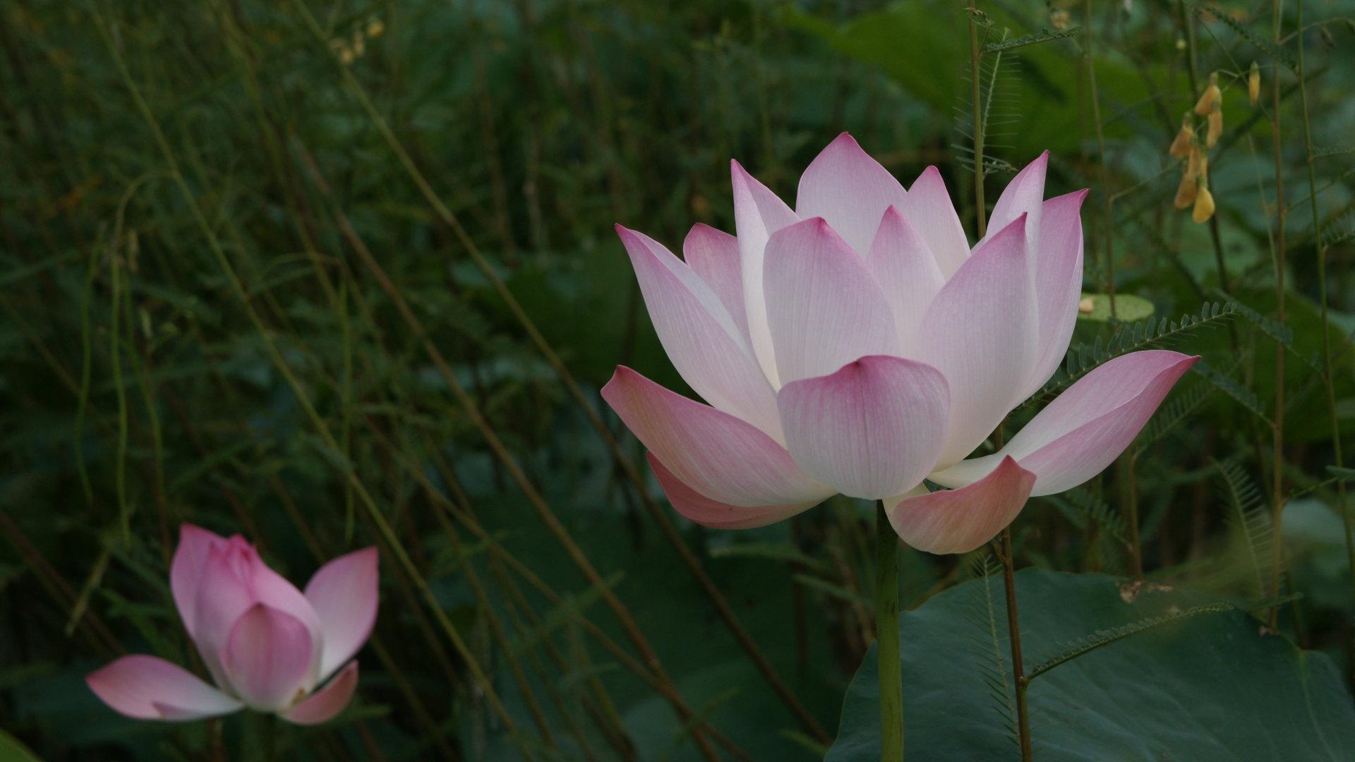 Pink Lotus Flowers Best Flowers Florist Wedding Flowers HD Wallpaper