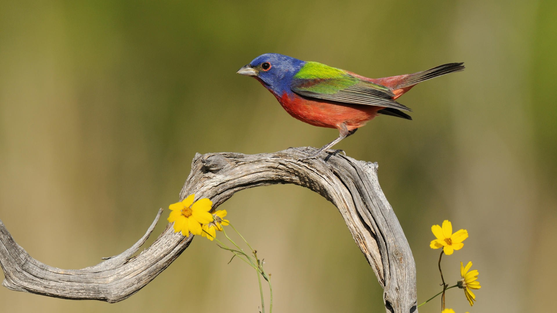 Birds Texas Painted Bunting Fresh New HD  Best Quality HD Wallpaper