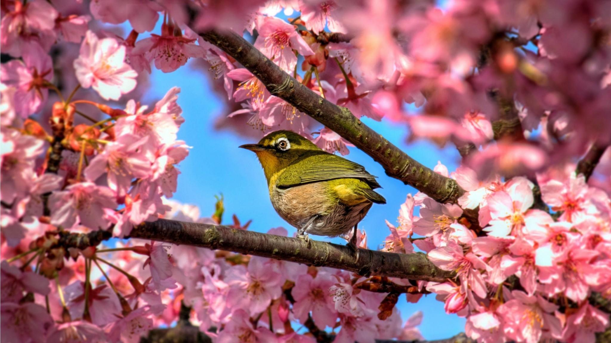 Japanese White Eye Hiding In Sakura    HD desktop HD Wallpaper