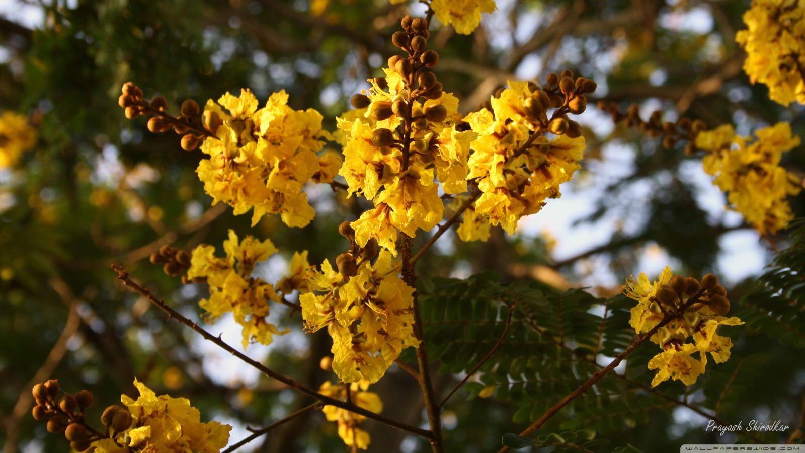 Yellow Gulmohar flowers     HD desktop    High Definition HD Wallpaper
