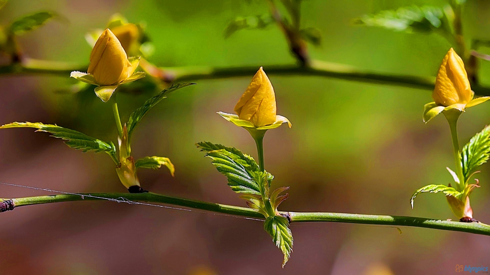 Spring Yellow Rose Flowers 1600x900  3096 HD  Res HD Wallpaper