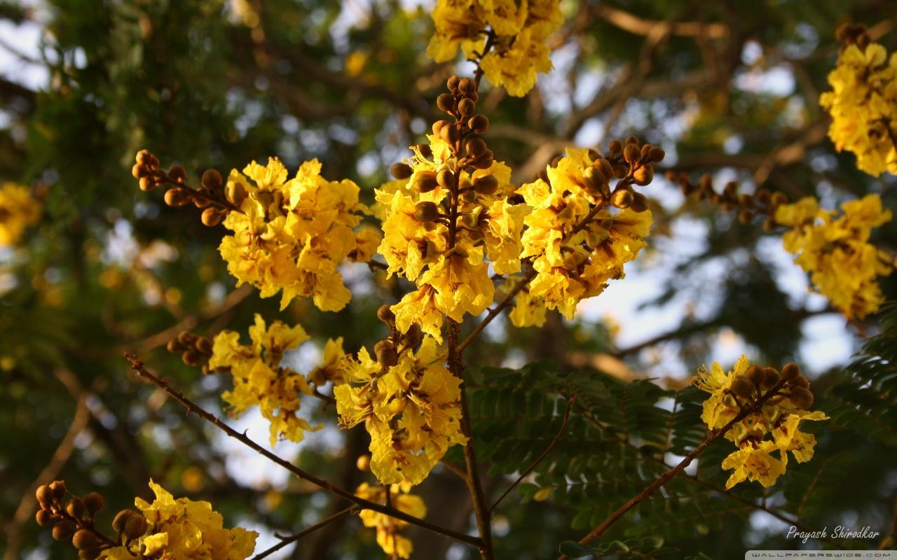 Yellow Gulmohar flowers     HD desktop    High Definition HD Wallpaper