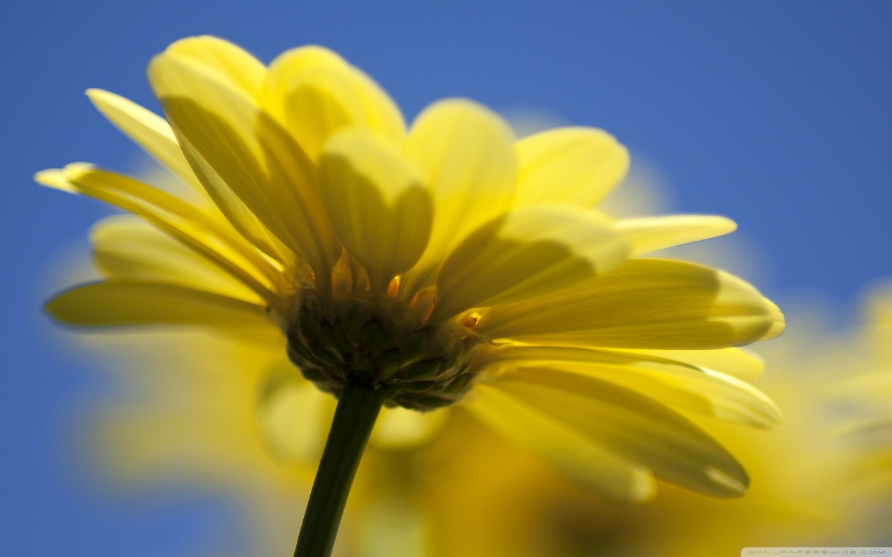 Yellow Flower HD desktop    High Definition   Fullscreen HD Wallpaper